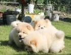 出售纯种精品松狮幼犬 保健康保质量 公母都有
