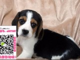 漳州比格宠物狗出售转让 比格狗舍多少钱 买卖比格幼犬