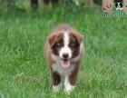 哈尔滨 边境牧羊犬多少钱 哪里可以买到