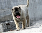 双血高加索犬 专业繁殖 可上门挑选 协议质保