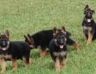 兰州犬舍直销德牧泰迪哈士奇金毛萨摩耶秋田阿拉斯加等各种名犬