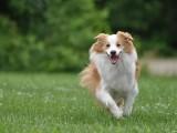 东营雪瑞纳幼犬出售 包纯种包健康