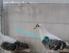 优质肉鸽、元宝鸽、淑女鸽、头型鸽(马头鸽、凤尾鸽