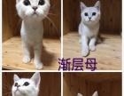 家庭繁育短毛猫 英短乳白、蓝白及渐层