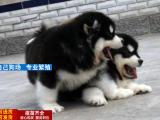 大骨架巨型阿拉斯加雪橇犬 签质保协议 可送货上