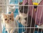 蓝白加菲猫小母一只