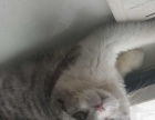 折耳猫1500元 美短虎斑 标斑和加白各一只