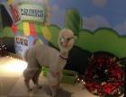 黄浦影院租羊驼暖场展示,上海启欣展览展示有限公司