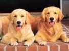 纯种金毛价格优惠 血统纯正 保健康 品相好 送狗狗用品