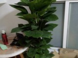 南昌室内吸味去甲醛防辐射绿植