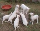 小杜高犬多少钱一条 杜高犬图片