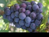 天水麥積下曲村葡萄成熟