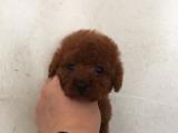 犬舍直销高品质泰迪熊 玩具泰迪犬幼犬 质量三包