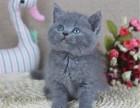 猫舍繁殖纯种蓝猫 矮脚蓝猫多少钱一只 英短蓝猫图片