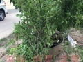 带果发货 盆景植物 花卉盆栽 观赏植物 果树苗