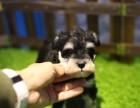 玉树哪里有宠物狗卖哪里有宠物狗卖小体雪纳瑞纯种雪纳瑞幼犬