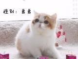 沈阳出售加菲猫