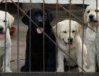 上海哪里有卖拉布拉多幼犬上海拉布拉多幼犬多少钱 拉布拉多图片