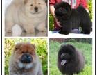 本地犬舍出售纯种松狮犬 双血统带证书