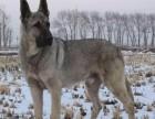 正规繁殖基地出售大中小型宠物犬保健康可送上门选
