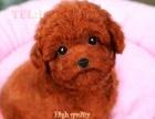 超小体茶杯泰迪犬 多色可选 口袋泰迪熊 可送货 支持刷卡
