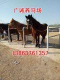 出售骑乘马,宠物矮马,半血宝马,马车马具全