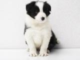 犬舍直销边牧幼犬 纯种健康能养活 支持视屏对接