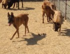 福州哪里有卖马犬的 马犬多少钱一条