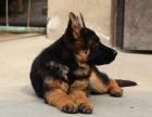 专业狗场繁殖纯种德国牧羊幼犬出售 纯种健康质保