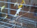 出售直立鹰芙蓉鸟红黄白三种颜色
