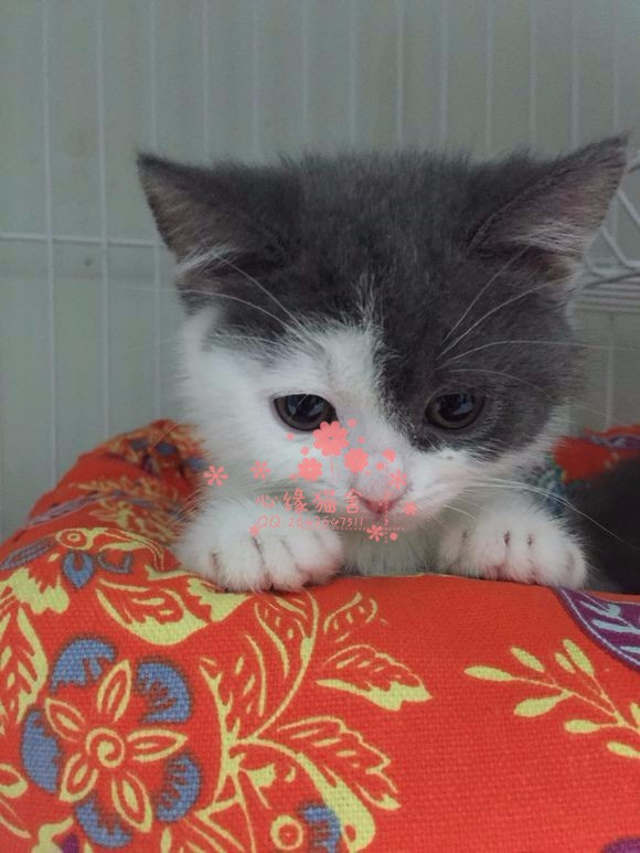乌鲁木齐哪里的蓝猫较便宜多少钱乌鲁木齐哪里有几百块钱蓝猫