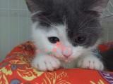 昆明哪里的蓝猫最便宜多少钱一只 昆明哪里有几百块钱蓝猫
