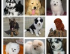 犬舍直销金毛,哈士奇,阿拉斯加,博美,拉布拉多,萨摩,松狮