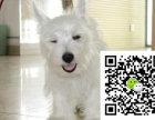 重庆西高地幼犬大概多少钱重庆西高地幼犬大约多少钱重庆西高地幼