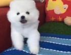 南京市哪里有犬舍卖俊介 南京市白色博美怎么卖 黄色博美
