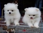 信誉服务 高端品质保障 纯种博美犬 常年有货