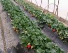 新口感草莓采摘基地