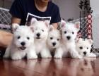 郑州哪里出售纯种西高地幼犬
