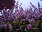 龙泉桃花故里,隐于桃林中的花海人家,你值得来一次