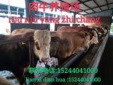 中国肉牛的养殖有什么优势