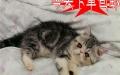 火爆出售美丽与气质共存的加菲猫咪 包纯种当天包邮