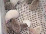 自家繁殖非洲迷你刺猬大量出售