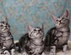 阿拉尔哪里有卖美短猫 阿拉尔美短猫多少钱 阿拉尔美短猫买卖