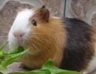 自家喂养荷兰猪5只,不想养了,已经怀孕