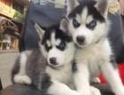 天津哪有哈士奇犬卖 天津哈士奇犬图片 天津哈士奇犬多少钱
