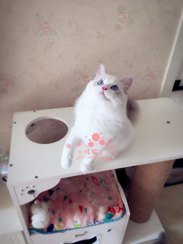 长春哪里有卖布偶猫 长春买布偶猫到哪里好