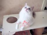昆明宠物 昆明哪里的布偶猫最便宜 纯种布偶猫一般卖多少钱一只