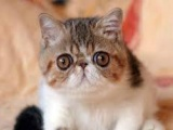 自家繁育极品双血统红白加菲猫弟弟妹妹真实照片视频