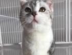 【SA.CAT猫舍】英短,美短及折耳宝宝找新家