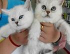 【贝拉宠物】最低暹罗猫金吉拉猫蓝猫加菲猫,欢迎比较